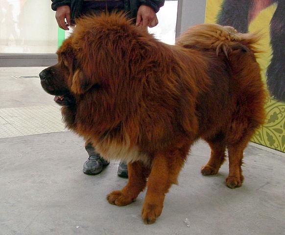 Tibetan Mastiff via wiki commons