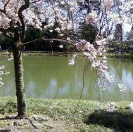 cherry blossom bk botanic