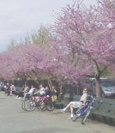 lilacs mccarren park