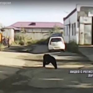 This Russian Town Is Being Ransacked By An Army Of Starving Bears