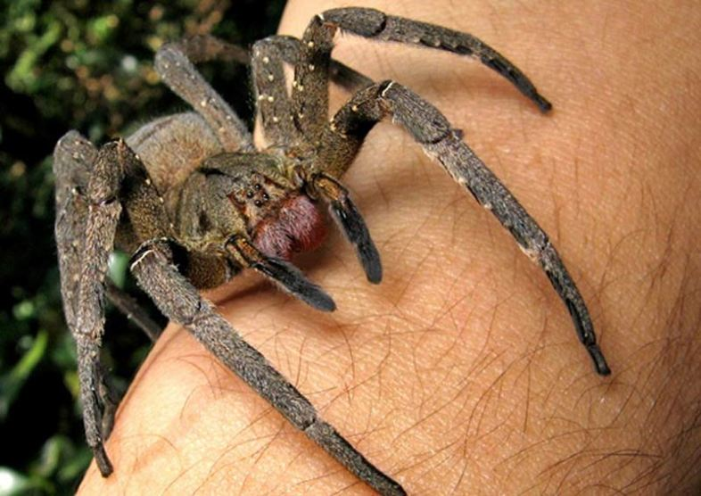 The Brazilian wandering spider—it may kill you, but you'll die hard. João P. Burini (Wikimedia Commons)