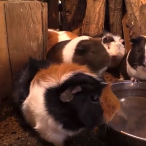 This Song About A Guinea Pig Bridge Is The Catchiest Song Of 2015