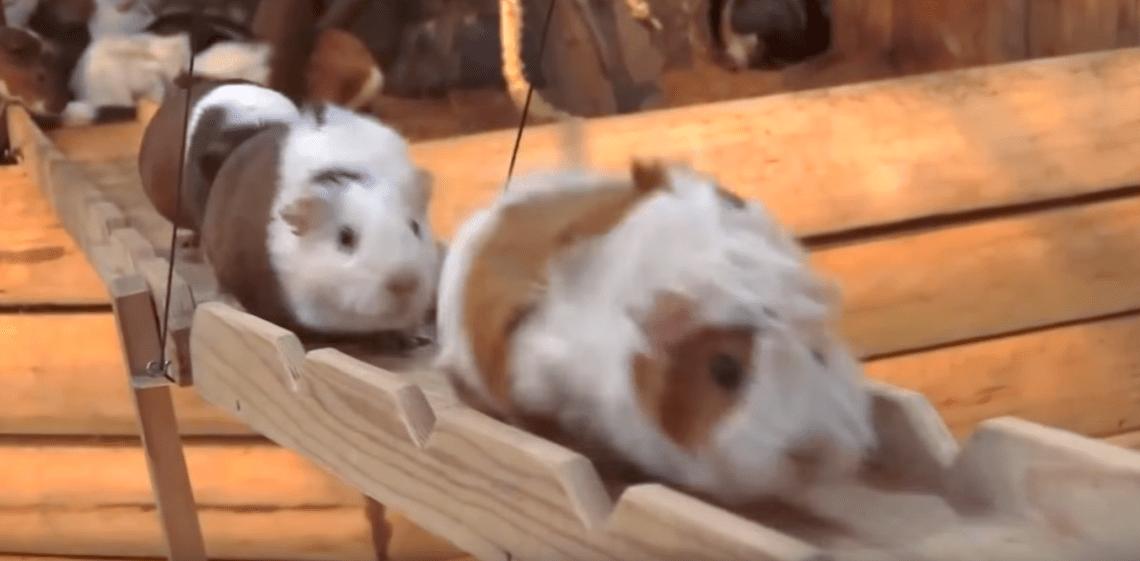 Guinea Pig Bridge at the Nagasaki Bio Park - song by Parry Gripp (Youtube)