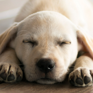Here's A Bunch Of Sleeping Labrador Puppies To Soothe Your Tired Minds