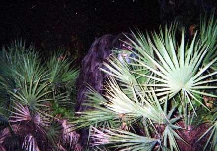 Alleged photo of a Skunk Ape taken by Loren Coleman