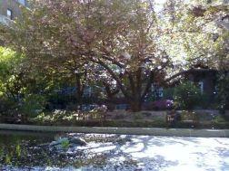 bc lilacs