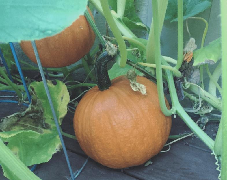 the tiniest pumpkin patch in my backyard