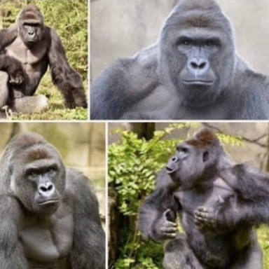 No, Sadly There Is Not Actually A Baby Gorilla Named Harambe McHarambeface