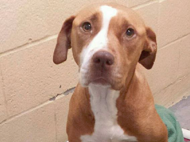 This Pitbull Wouldn't Leave The Shelter Without The Chihuahua He Was Protecting And What Happened Next Will Melt Your Heart