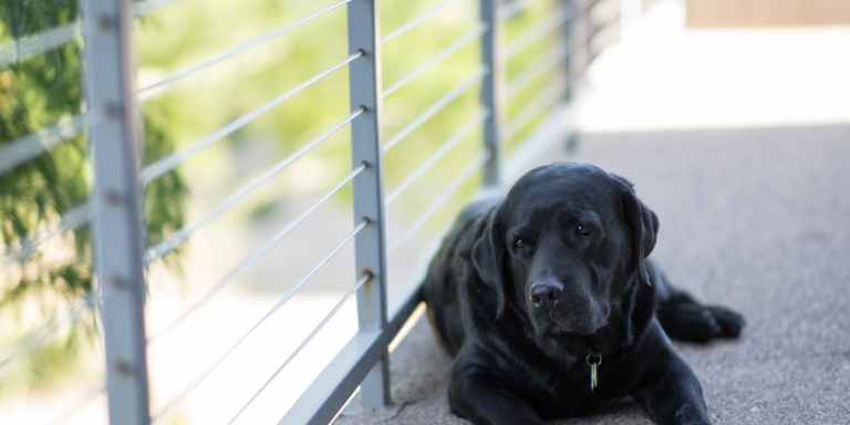 To My Labrador, MyMiracle