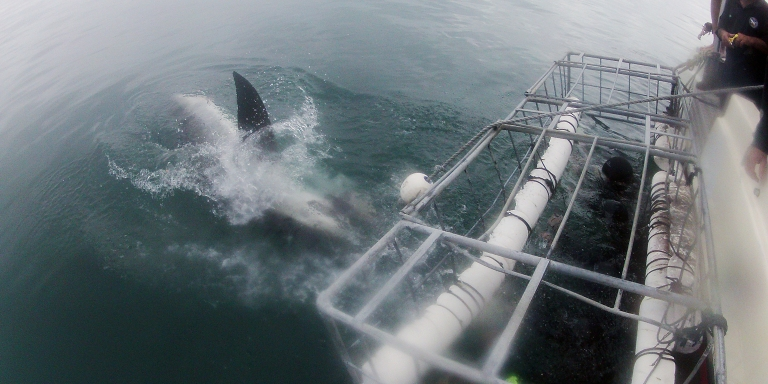 I Can't Swim, But I Went Great White Shark Cage-DivingAnyway