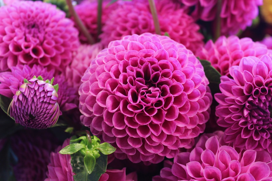 Close-up of pink dahlia flowers in full bloom