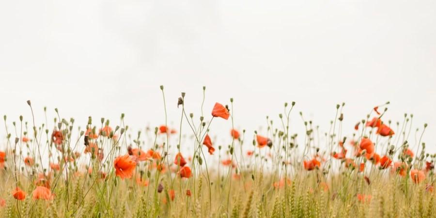 A Meadow OfWildflowers