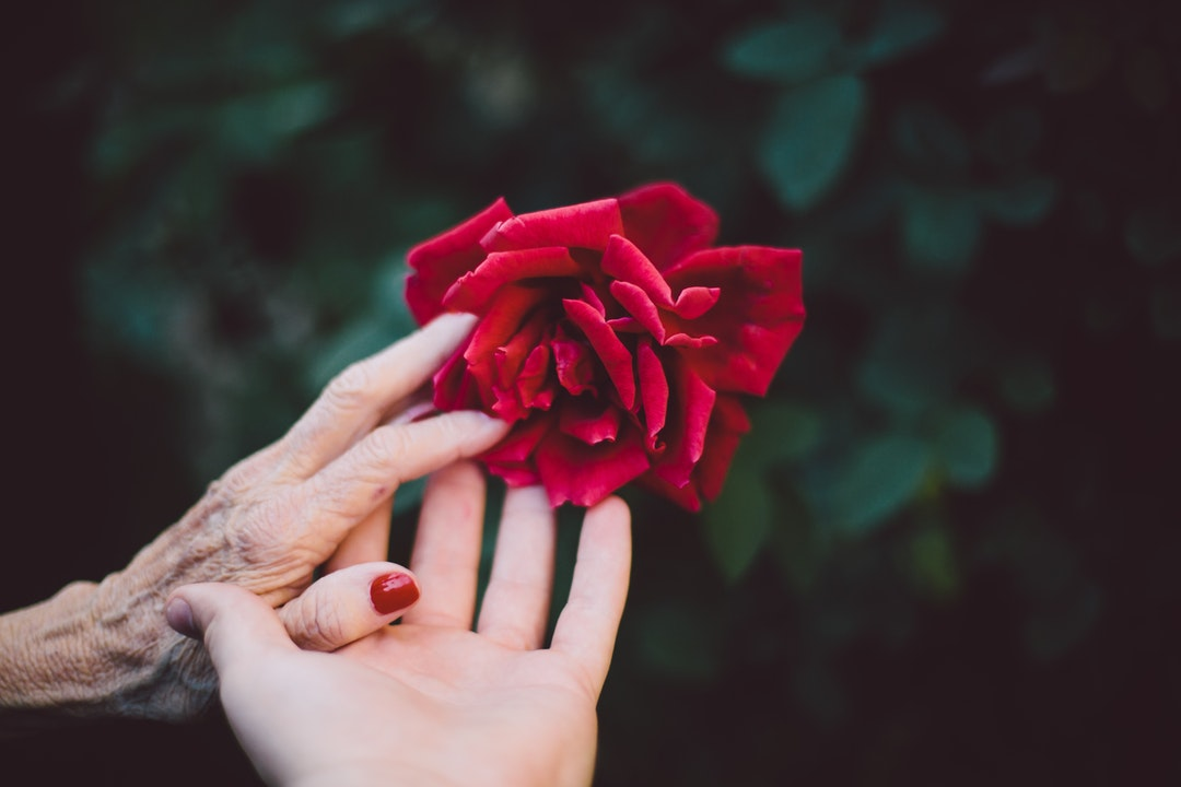 Hands of a young woman and old woman meet gently to touch a rose