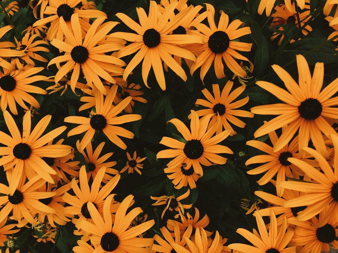 Black Eyed Susan flowers in Valparaiso