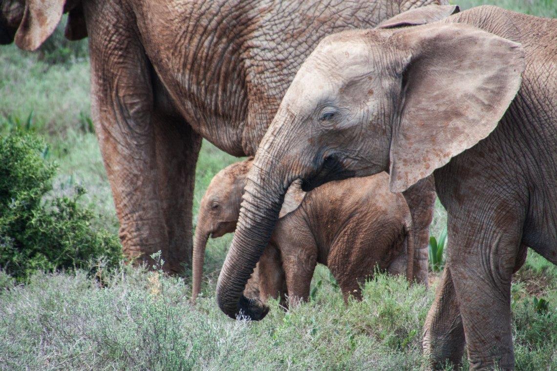 Baby Elephant With Other Elephants