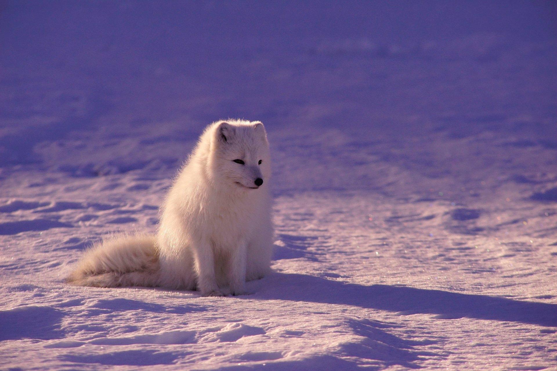 Baby fox in winter