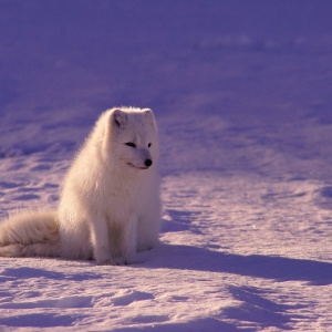 Baby fox in winter
