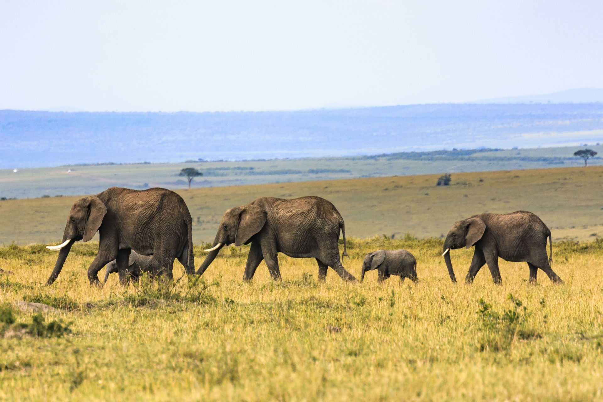 Baby elephant in field with other elephants