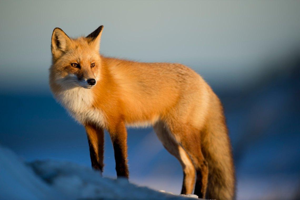 Bay Fox