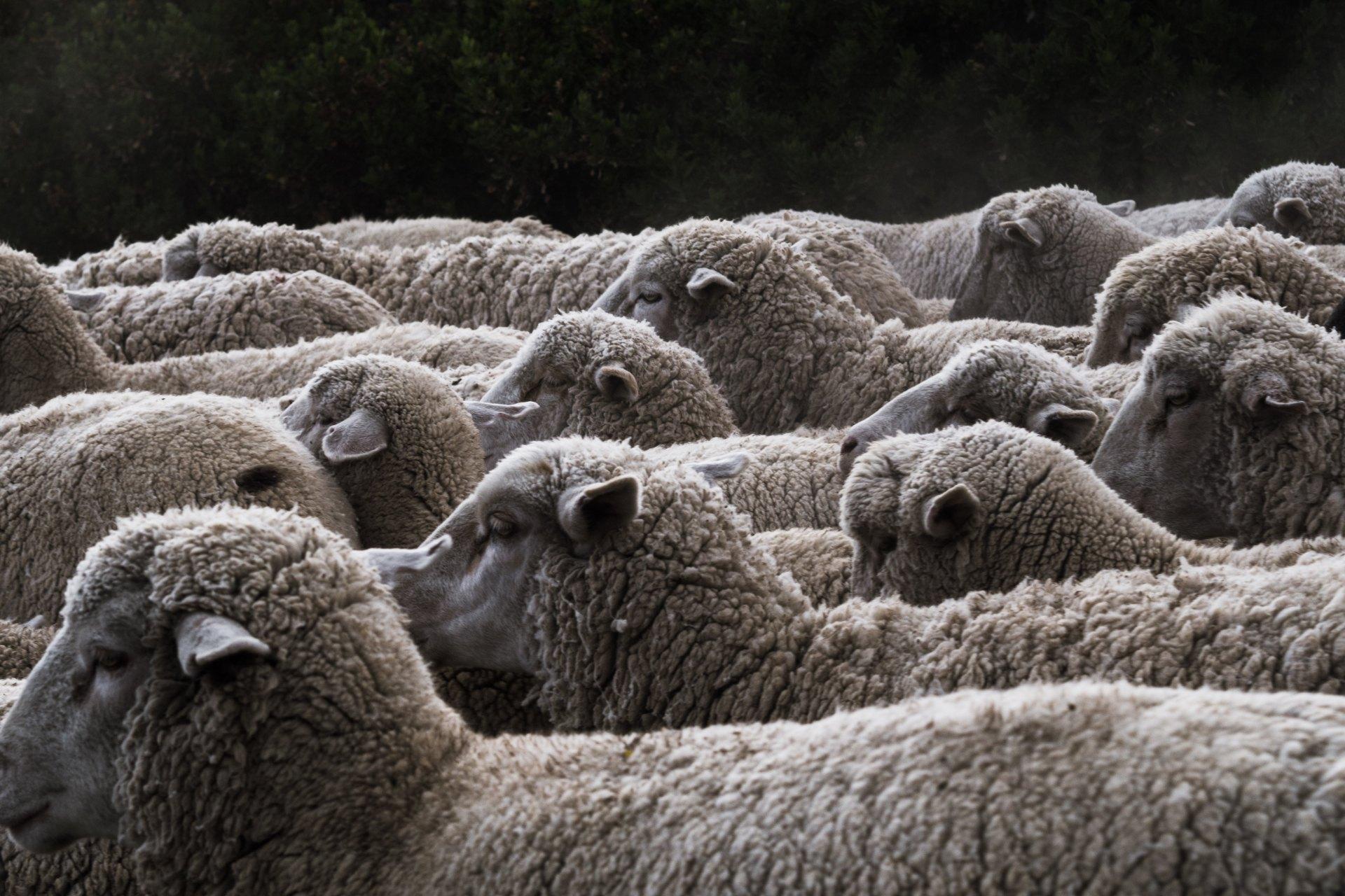 Sheep Puns