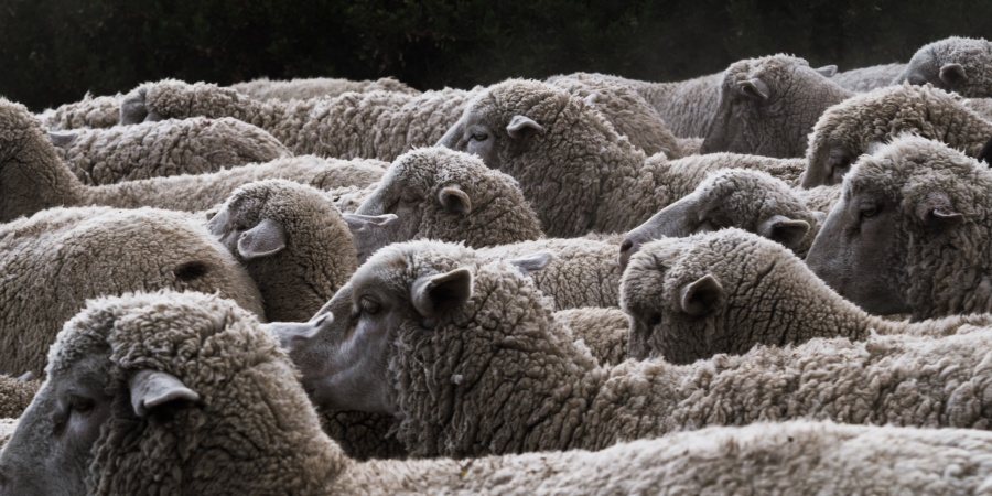 12 Sheep Puns That Wool Definitely Make EweLaugh