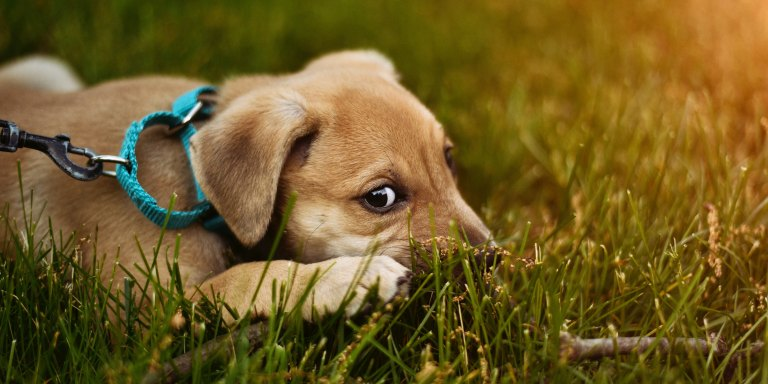 Why Do Dogs EatGrass?