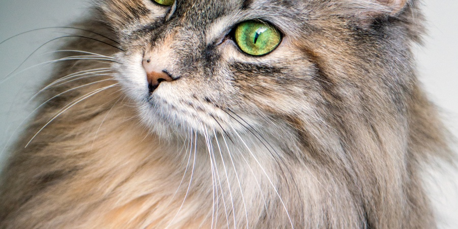 Why Do Cats HaveWhiskers?