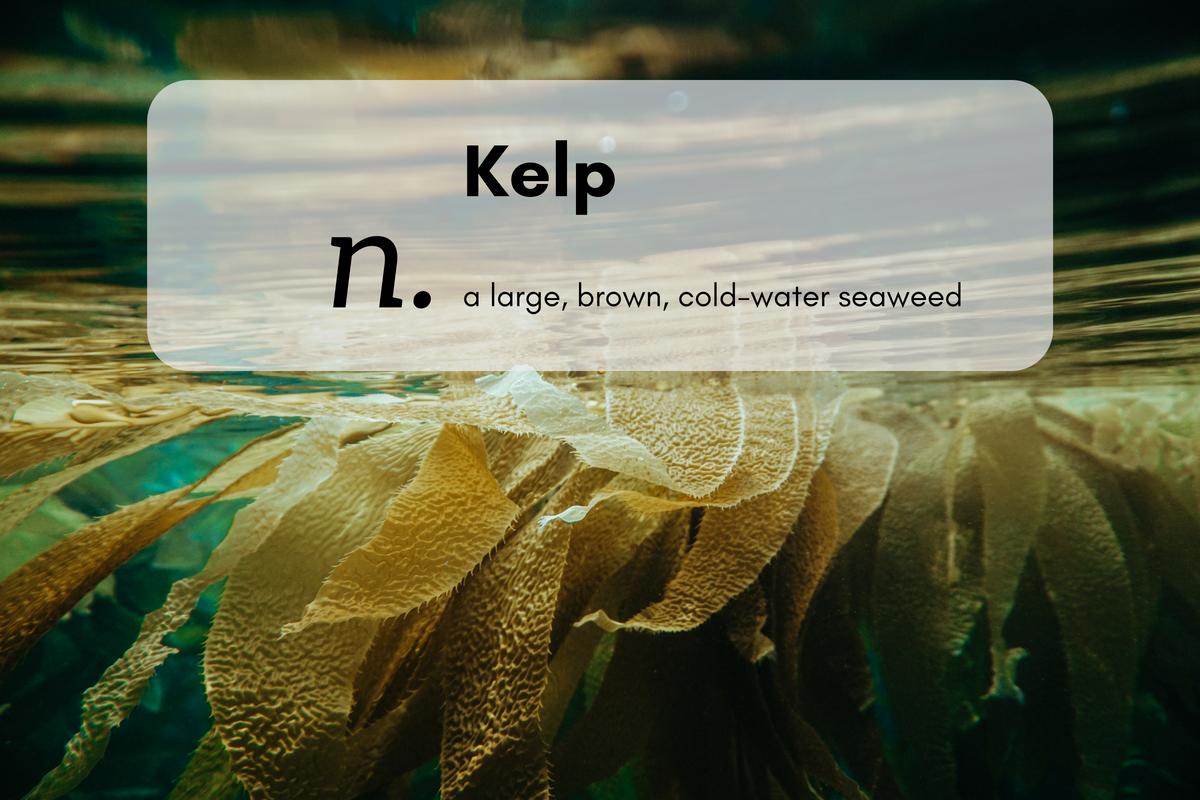 Kelp (n.)a large, brown, cold-water seaweed