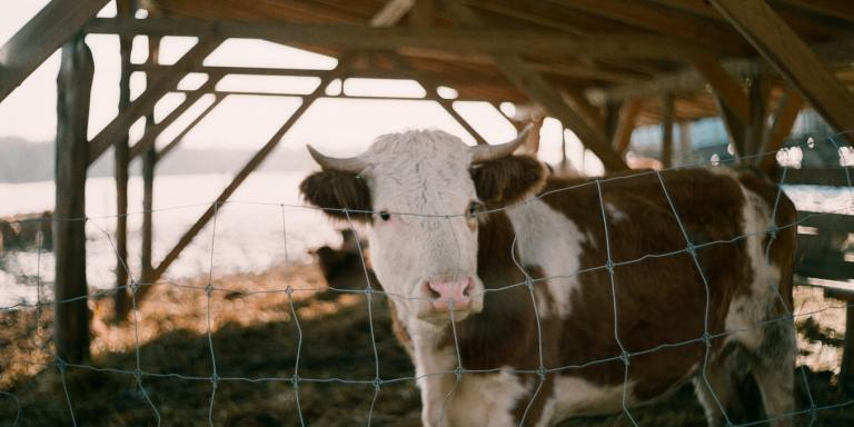105+ Hilarious Cow Jokes ForKids
